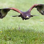 Māra the Hawk